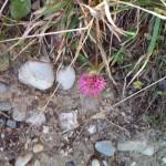 Flori pe vârful Toaca