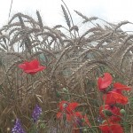În drum spre Constanța maci și grâu